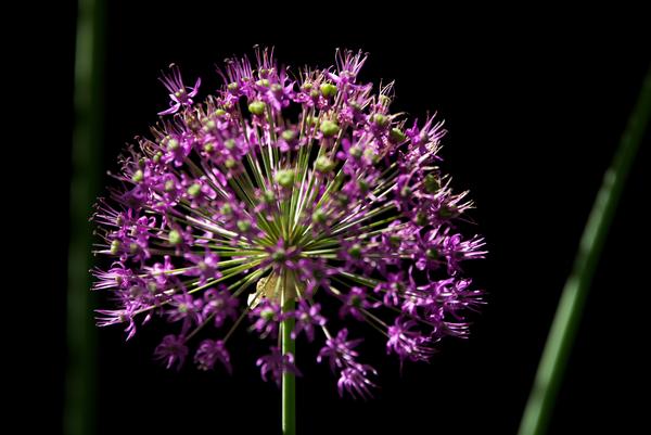 Purple Allium by Andy LeBlanc