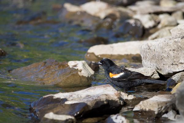 Redwing Blackbird by Andy LeBlanc