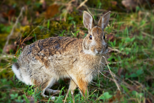 Snowshoe Hare by Andy LeBlanc