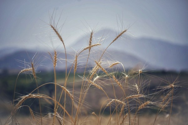 Wheats by Arash Azarm