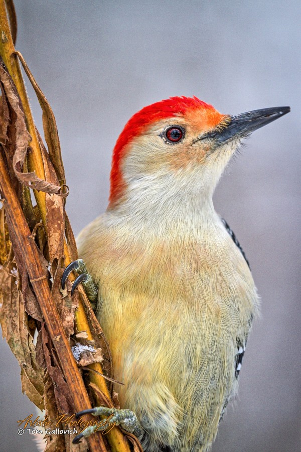 Red Bellied Woodpecker - APC-150 by Artistic Photography