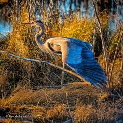 Great Blue Heron - APC-246 by Artistic Photography