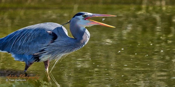 Great Blue Heron - APC-378 by Artistic Photography