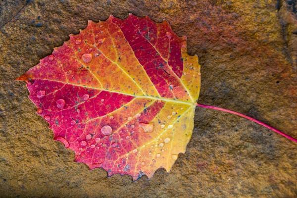 Aspen Leaf ap 1718 by Artistic Photography