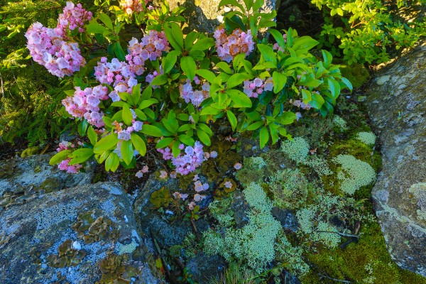 Azaleas ap 2395 by Artistic Photography