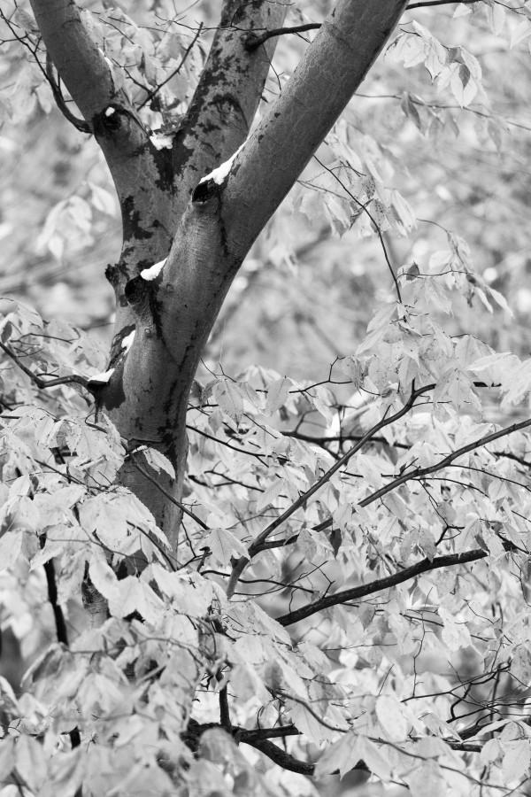 Beech Tree ap 1586 B&W by Artistic Photography