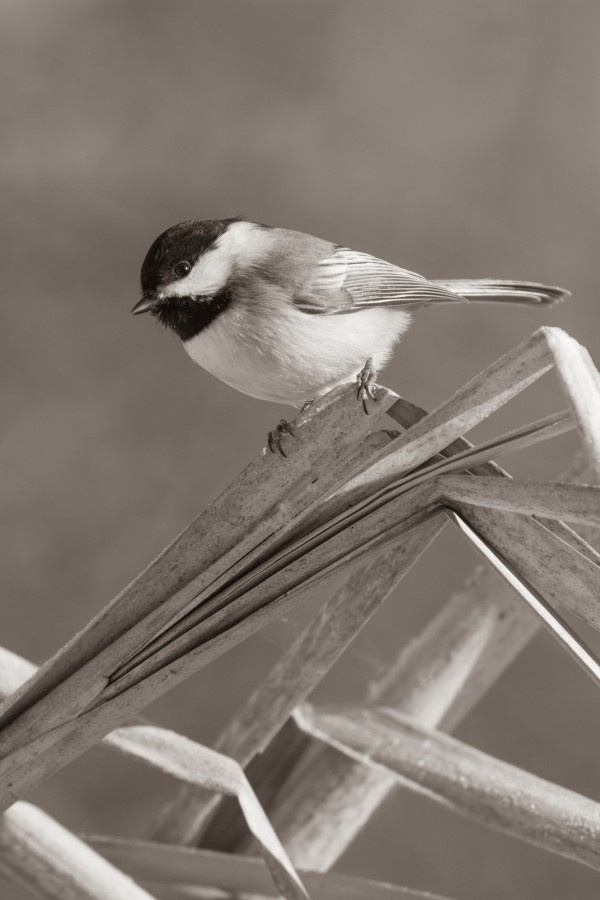 Black Capped Chickadee ap 1592 B&W by Artistic Photography