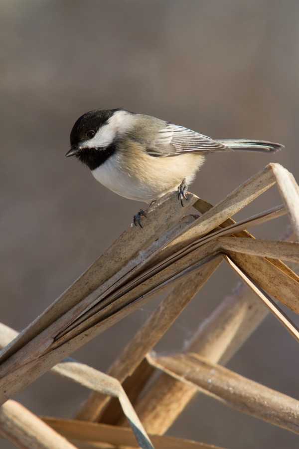 Black Capped Chickadee ap 1592 by Artistic Photography