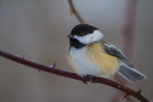 Black Capped Chickadee ap 1867 by Artistic Photography