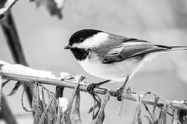 Blacked Capped Chickadee ap 1813 B&W by Artistic Photography