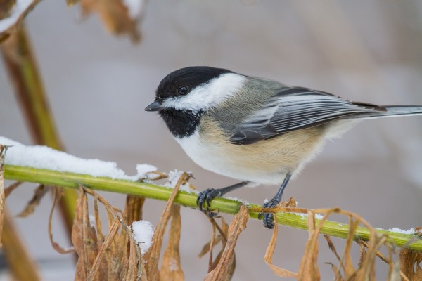 Blacked Capped Chickadee ap 1813 by Artistic Photography