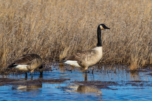 Canada Geese ap 2778 by Artistic Photography