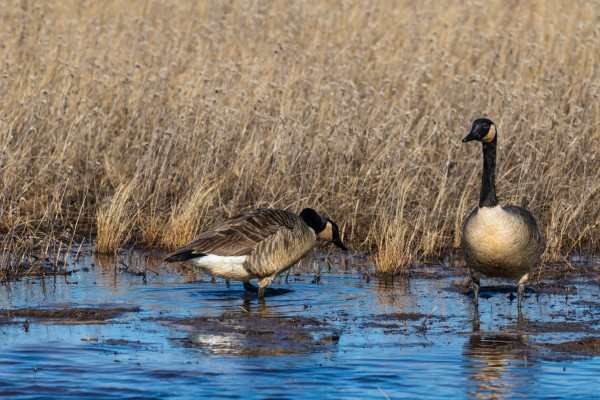 Canada Geese ap 2779 by Artistic Photography
