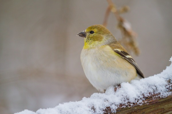 Goldfinch ap 1814 by Artistic Photography