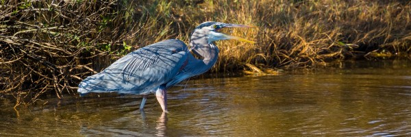 Great Blue Heron ap 2133 by Artistic Photography