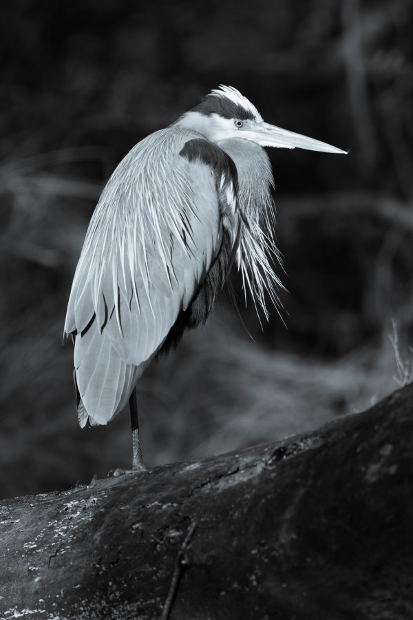 Great Blue Heron ap 2752 B&W by Artistic Photography