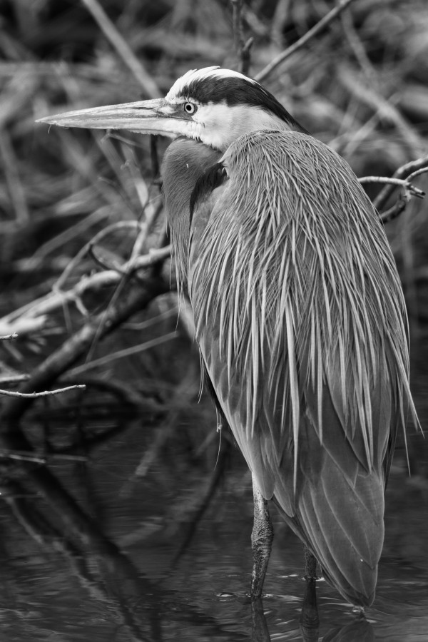 Great Blue Heron ap 2813 B&W by Artistic Photography