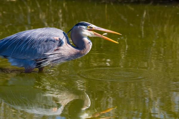 Great Blue Heron ap 2829 by Artistic Photography