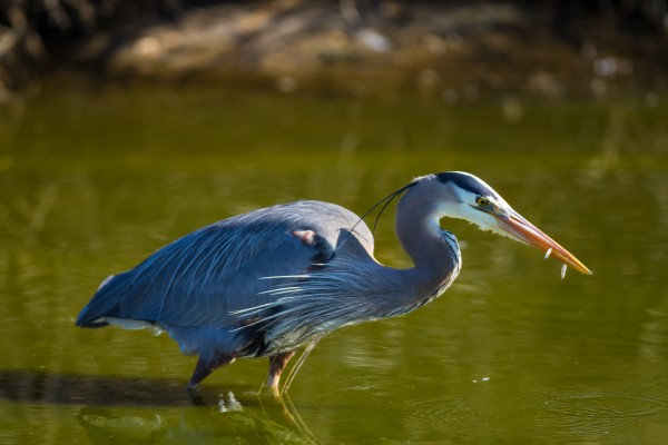 Great Blue Heron ap 2833 by Artistic Photography