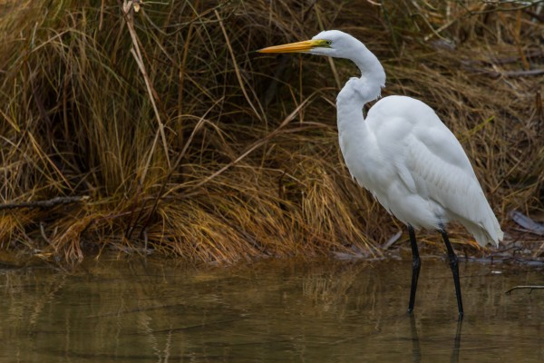 Great White Egret ap 1839 by Artistic Photography