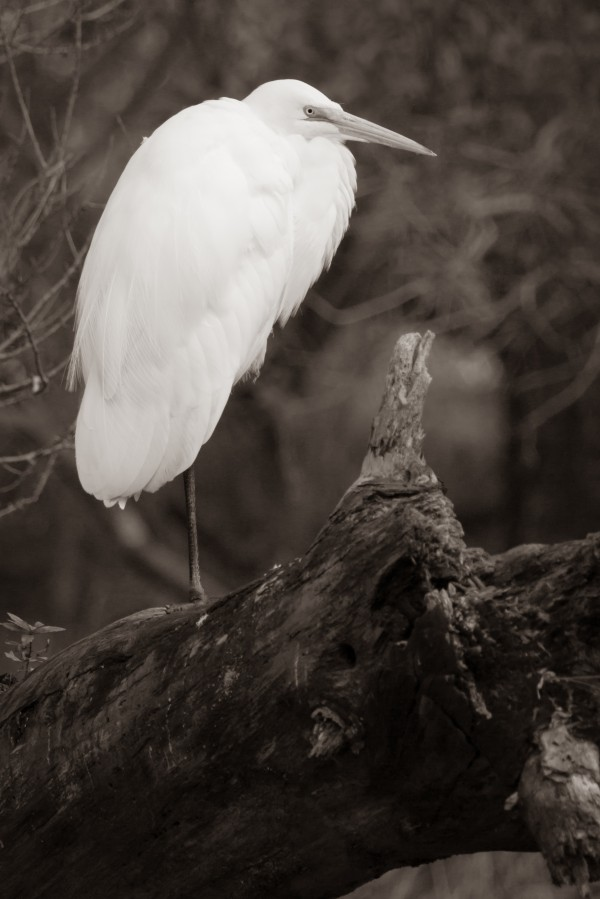 Great White Egret ap 1848 B&W by Artistic Photography