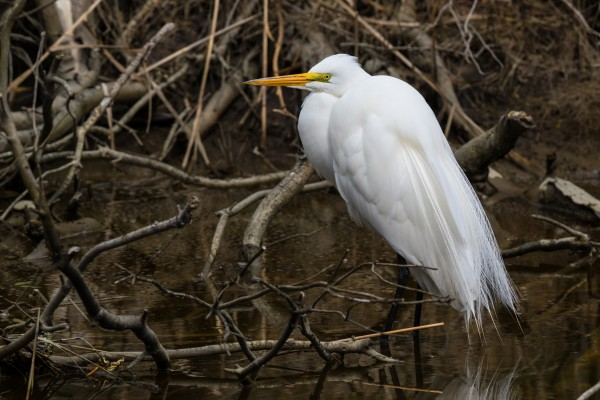 Great White Egret ap 2748 by Artistic Photography