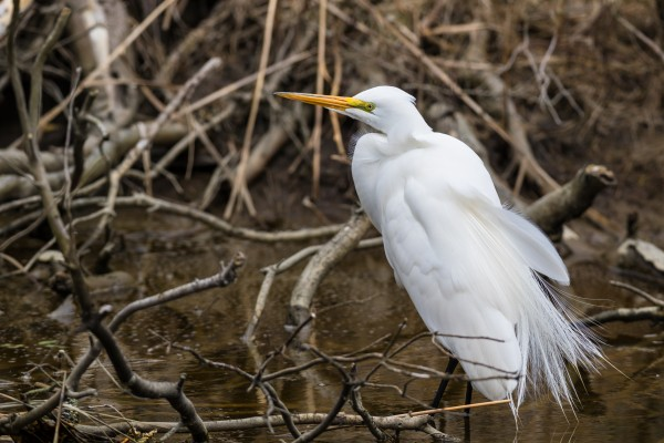 Great White Egret ap 2751 by Artistic Photography