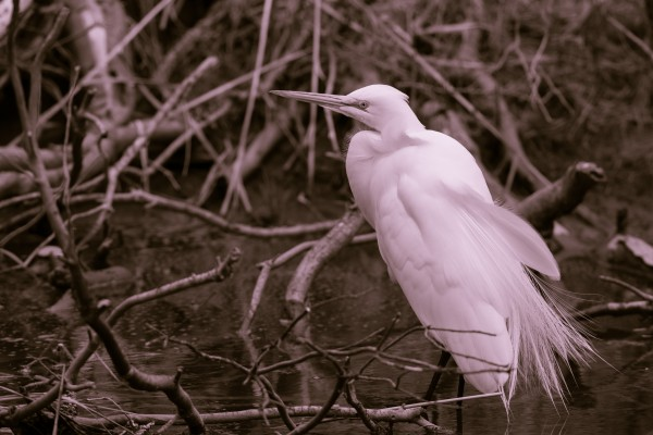Great White Egret ap 2751 B&W by Artistic Photography