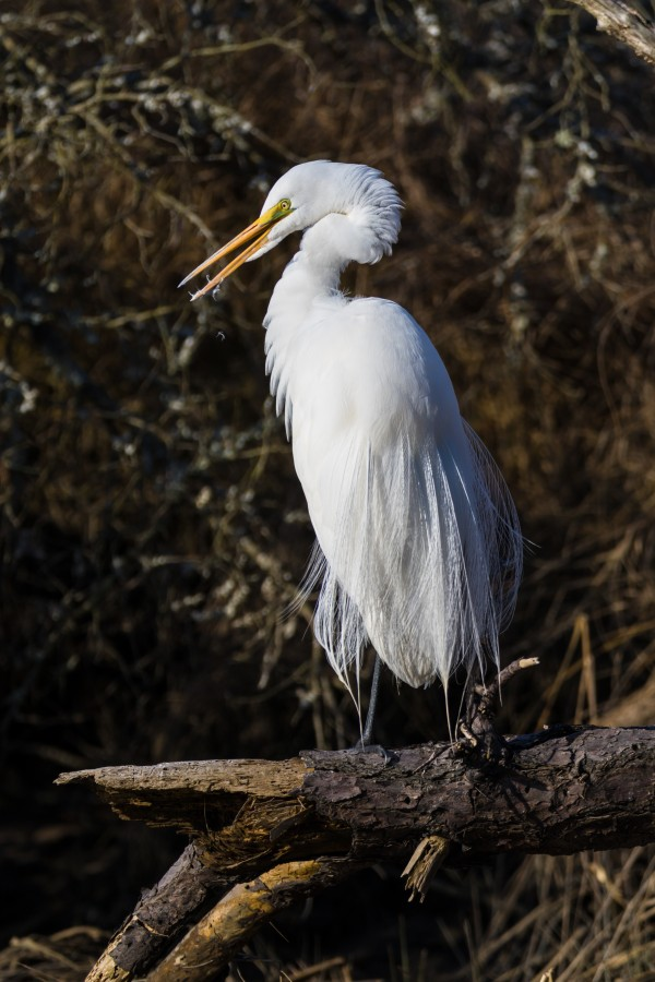 Great White Egret ap 2765 by Artistic Photography
