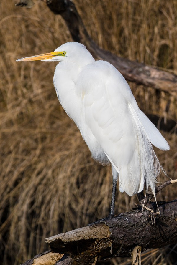 Great White Egret ap 2768 by Artistic Photography