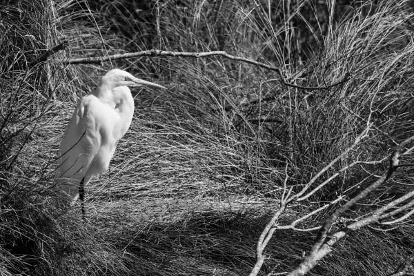 Great White Egret ap 2769 B&W by Artistic Photography
