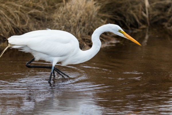Great White Egret ap 2802 by Artistic Photography