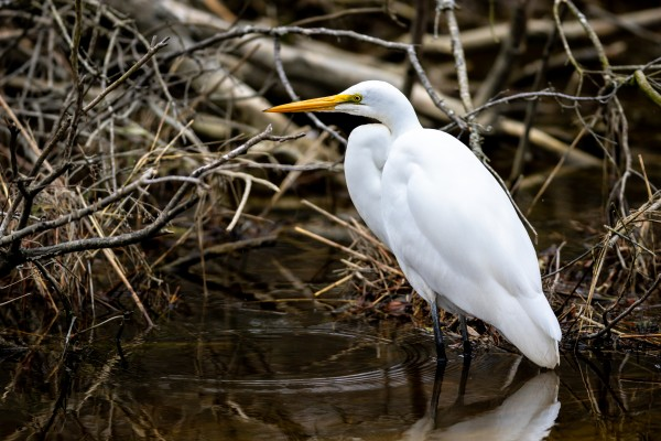 Great White Egret ap 2807 by Artistic Photography
