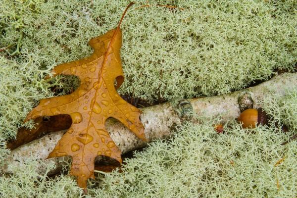Pin Oak Leaf ap 1556 by Artistic Photography
