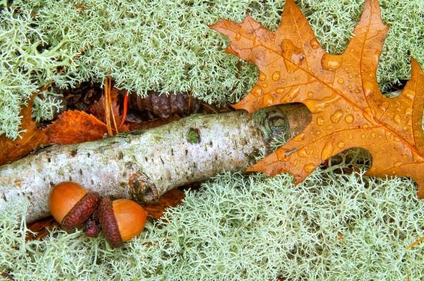 Pin Oak Leaf ap 1557 by Artistic Photography