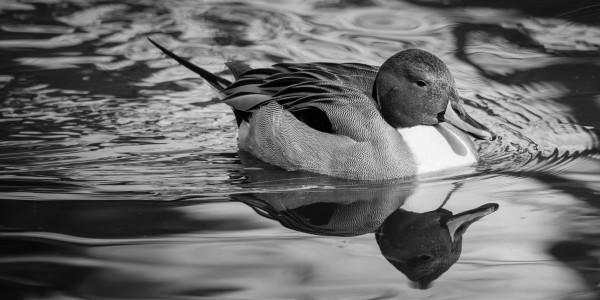 Pintail ap 1849 B&W by Artistic Photography