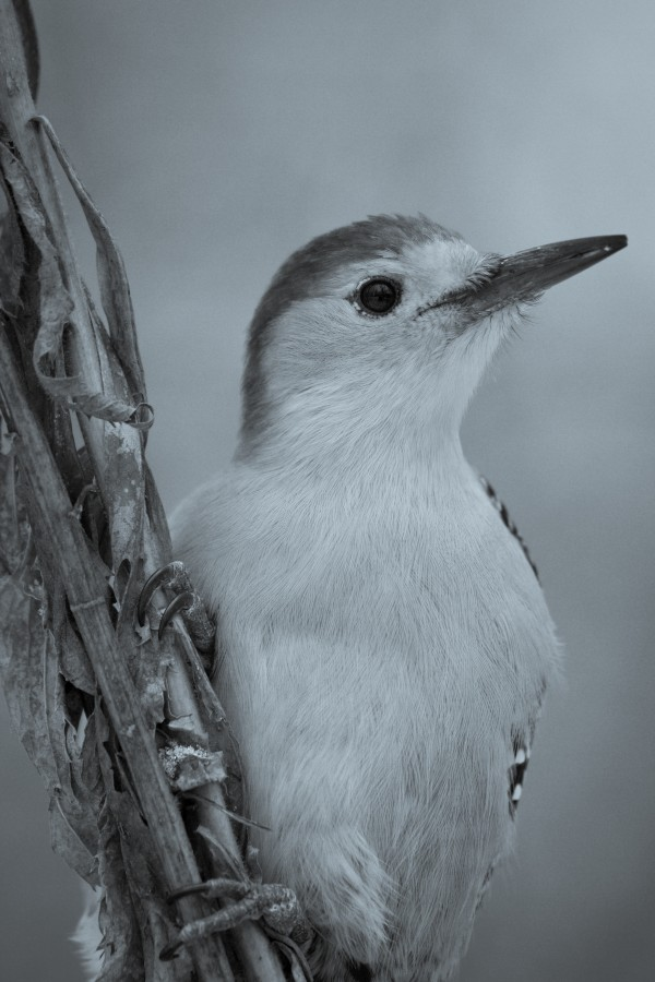 Red Bellied Woodpecker ap 1815 B&W by Artistic Photography
