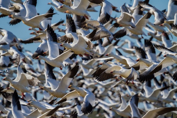 Snow Geese ap 1855 by Artistic Photography