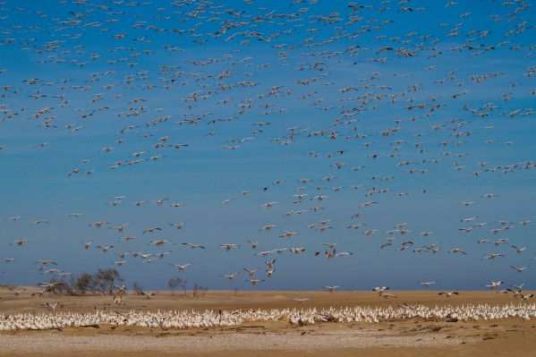 Snow Geese ap 1858 by Artistic Photography