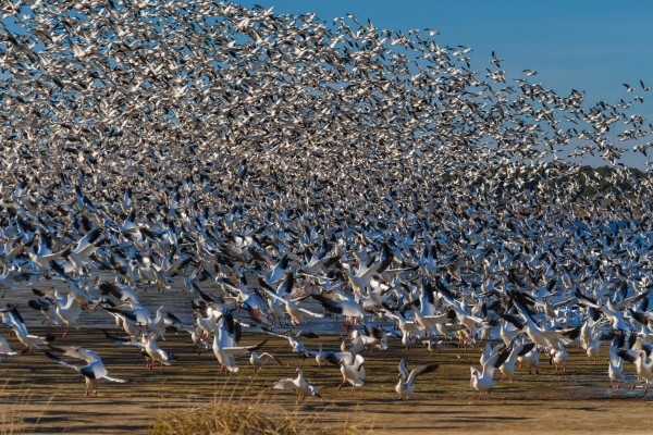 Snow Geese ap 1860 by Artistic Photography