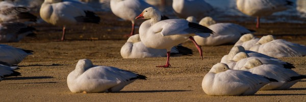 Snow Geese ap 1861 by Artistic Photography