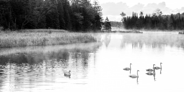 Swan Family ap 2694 B&W by Artistic Photography
