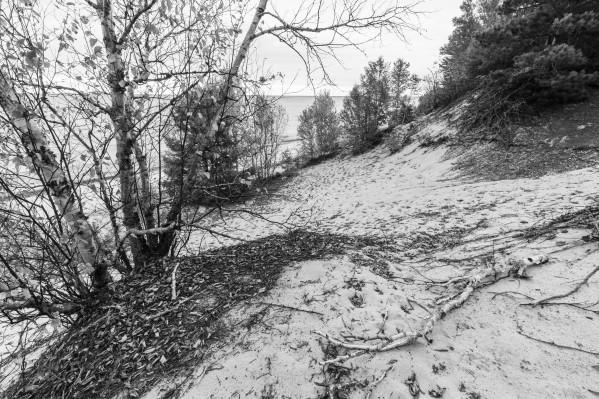 White Birch ap 2600 B&W by Artistic Photography