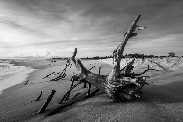 Dead tree by the sea by Augusto Miranda