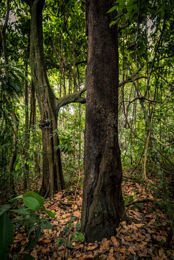 The copaiba tree by Augusto Miranda
