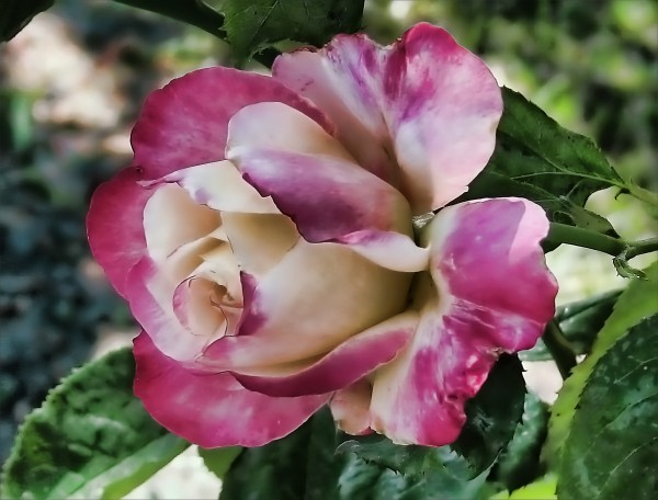 Lavender Rose by Aurelia Schanzenbacher Sisters Fine Arts