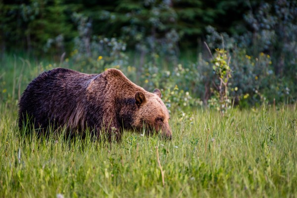 Stalking Grizzly by Aurelio Matthew Leal