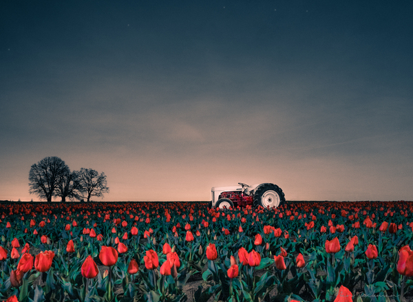 Tractors & Tulips by Ben Jackman