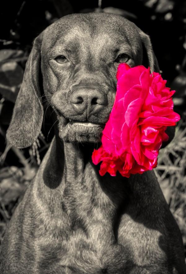 The Rose. by Ben Sheehan