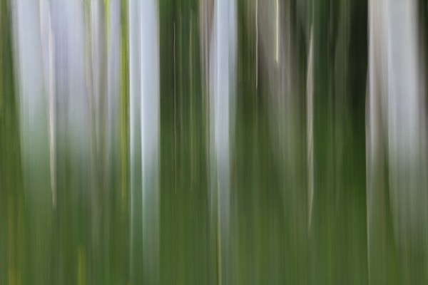ASPEN FOREST IN THE SPRING VERSION 1 by Bill Sherrell